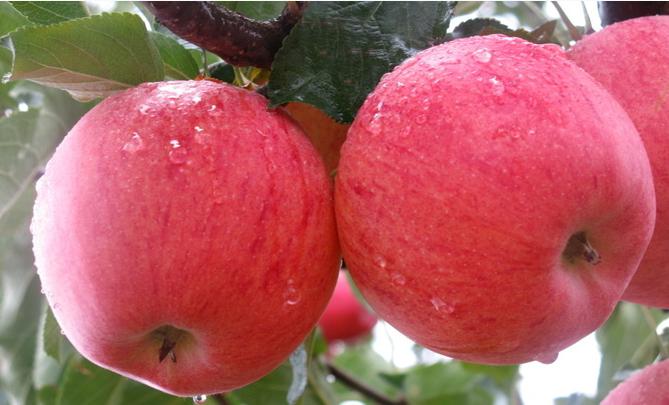 パースでのファームジョブ。オーストラリアりんごの種類豆知識