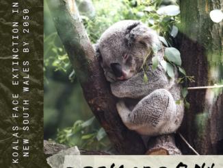 コアラ絶滅の危機オーストラリア